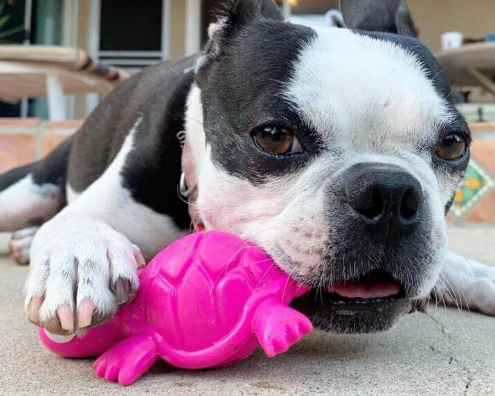 Dog chewing on turtle toy